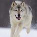Wolf Dog Simulator v1.0.6 [MOD]